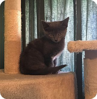 Domestic Shorthair Kitten for adoption in Greensburg, Pennsylvania - Madeline