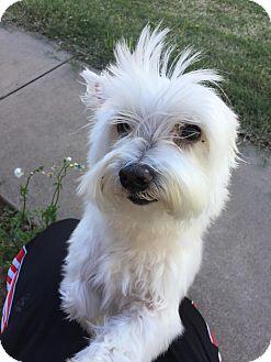Miniature Schnauzer/Maltese Mix Dog for adoption in Wichita Falls, Texas - Benny