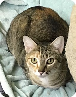 Hemingway/Polydactyl Cat for adoption in Redding, California - Pixel