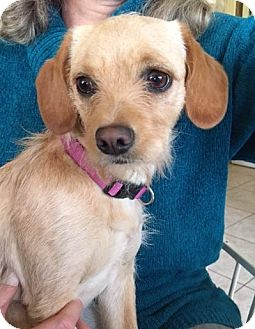 Terrier (Unknown Type, Small)/Beagle Mix Dog for adoption in North Brunswick, New Jersey - Bella