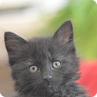 Adopt A Pet :: Fluffer Nutter - Madison, NJ