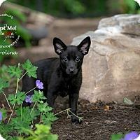 Adopt A Pet :: Carolina - Warsaw, IN