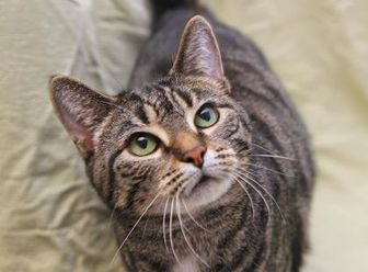 Domestic Shorthair/Domestic Shorthair Mix Cat for adoption in Mentor, Ohio - Cuddles 86 +