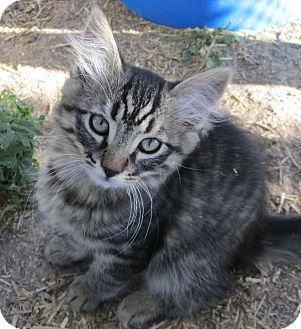 Domestic Mediumhair Kitten for adoption in Buhl, Idaho - Michelle