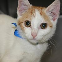 Adopt A Pet :: BO BO - Clayton, NJ