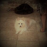 Adopt A Pet :: Poquito - conroe, TX