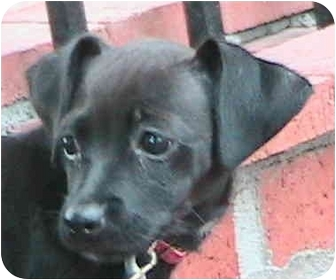 Labrador Retriever Mix Puppy for adoption in Poway, California - Dally