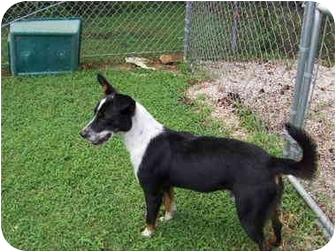 Border Collie/Australian Cattle Dog Mix Dog for adoption in Stockton, Missouri - Julio