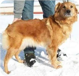 Golden Retriever/Australian Shepherd Mix Dog for adoption in North Judson, Indiana - Minnie