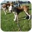 Photo 1 - American Pit Bull Terrier Mix Puppy for adoption in Berkeley, California - Iris