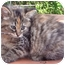 Photo 3 - Calico Kitten for adoption in Mt. Prospect, Illinois - Mocha