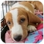 Photo 1 - Beagle Mix Puppy for adoption in Richmond, Virginia - Peaches