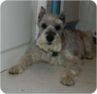 Schnauzer (Miniature)/Schnauzer (Miniature) Mix Dog for adoption in Umatilla, Florida - Babe