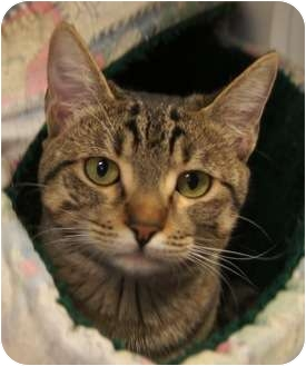Domestic Shorthair Cat for adoption in Houston, Texas - Stormy