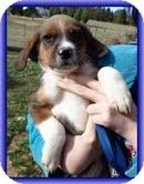 Beagle Mix Puppy for adoption in Foster, Rhode Island - Zeus