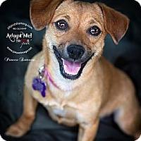 Adopt A Pet :: PRINCESS BUTTERCUP - Phoenix, AZ
