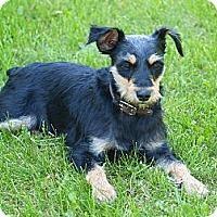 Adopt A Pet :: Daisy - Toronto/Etobicoke/GTA, ON
