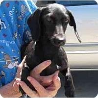 Adopt A Pet :: Midnight - Garden Grove, CA