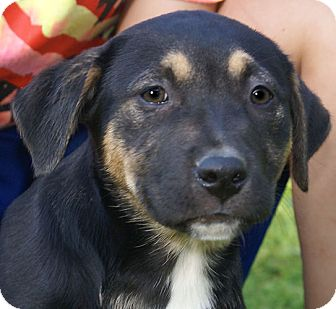 Greater Swiss Mountain Dog/Labrador Retriever Mix Puppy for adoption in Spring Valley, New York - Taylor