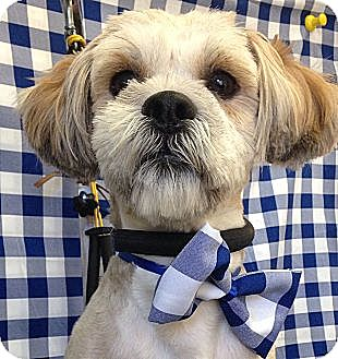 Shih Tzu/Terrier (Unknown Type, Small) Mix Dog for adoption in South Gate, California - Teddy