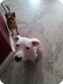 Dalmatian/American Bulldog Mix Puppy for adoption in Fort lauderdale, Florida - EVIE SKYE