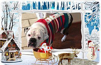 English Bulldog Dog for adoption in DOVER, Ohio - Gaston