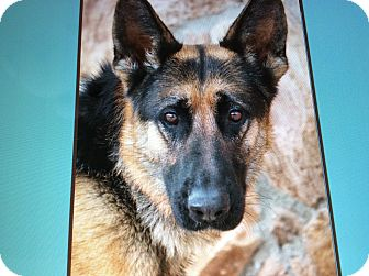 German Shepherd Dog Dog for adoption in Los Angeles, California - OSO VON OZ