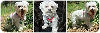 Maltese Dog for adoption in Forked River, New Jersey - Poodle