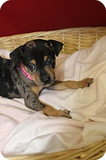 Catahoula Leopard Dog Mix Puppy for adoption in Waldorf, Maryland - Trinity