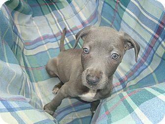 Labrador Retriever/American Staffordshire Terrier Mix Puppy for adoption in Old Bridge, New Jersey - Iris