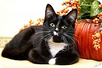 Domestic Shorthair Kitten for adoption in Sterling Heights, Michigan - Staten
