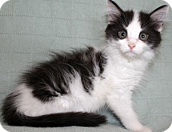 Domestic Mediumhair Kitten for adoption in Jefferson, North Carolina - Campbell