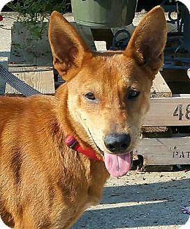 Cattle Dog/Labrador Retriever Mix Puppy for adoption in Seattle, Washington - A - RUSTY