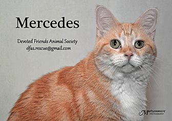 Domestic Shorthair Cat for adoption in Ortonville, Michigan - Mercedes