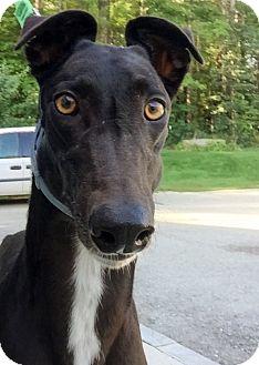 Greyhound Dog for adoption in Swanzey, New Hampshire - Vera