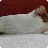 Adopt A Pet :: *Urgent* Lollie - Fullerton, CA