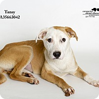 Adopt A Pet :: Tansy - Baton Rouge, LA