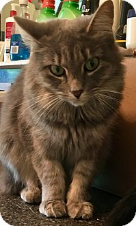 Domestic Mediumhair Cat for adoption in Valley Stream, New York - Charima