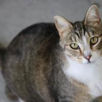 Domestic Shorthair/Domestic Shorthair Mix Cat for adoption in Boise, Idaho - Kimber
