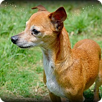 Chihuahua Mix Dog for adoption in Granbury, Texas - Bella