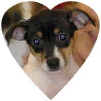Toy Fox Terrier Puppy for adoption in Herndon, Virginia - Annie