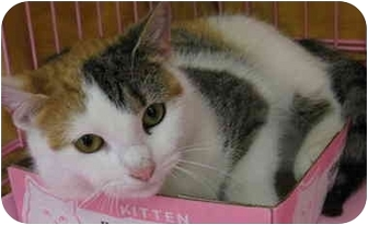 Calico Cat for adoption in Randolph, New Jersey - Jenny