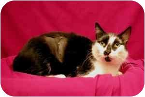 Domestic Shorthair Cat for adoption in Sacramento, California - Jupiter