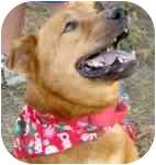 Labrador Retriever Mix Dog for adoption in Columbia, Illinois - Big Guy