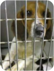 Beagle Mix Dog for adoption in Olathe, Kansas - Ned