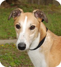 Greyhound Dog for adoption in Ware, Massachusetts - Force