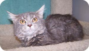 Domestic Mediumhair Cat for adoption in Colorado Springs, Colorado - K-Angie1-Faith