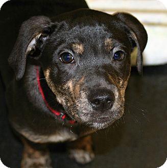 Rottweiler/Labrador Retriever Mix Puppy for adoption in Muskegon, Michigan - Evan