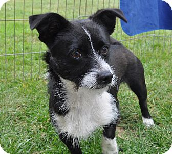 Terrier (Unknown Type, Small)/Corgi Mix Dog for adoption in Tumwater, Washington - Jack Jack