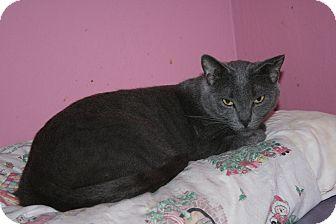 Russian Blue Cat for adoption in Santa Rosa, California - Teddy